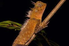 Тропическая длинная ящерица рожка Стоковые Изображения RF