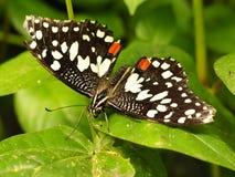 Тропическая красочная бабочка Стоковое Фото