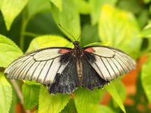 Тропическая красочная бабочка Стоковое фото RF