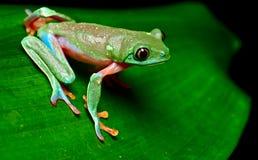 Тропическая лягушка вала Стоковое Изображение RF