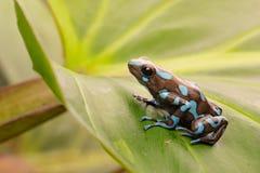 Тропическая лягушка Панама дротика отравы стоковое изображение