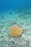 Тропическая морская звезда валика Стоковые Изображения