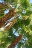 Тропическая пальма Стоковое Фото
