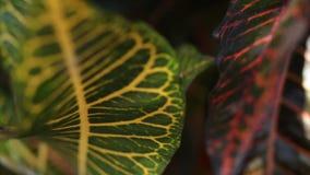 Тропическая предпосылка джунглей листьев Крупный план, видеоматериал