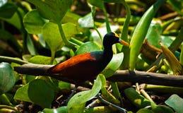 Тропическая птица Стоковая Фотография
