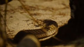 Тропическая пустыня, rattlesnake готовый для того чтобы поохотиться, стоковое изображение rf