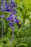 Тропическая пчела плотника с цветком Стоковые Фотографии RF