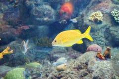 Тропическая рыба плавает Стоковая Фотография