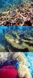 Тропическая рыба плавает в коралловый риф и смотрит в камере Стоковая Фотография