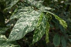 Тропическая свежая листва с пестротканой текстурой стоковое фото
