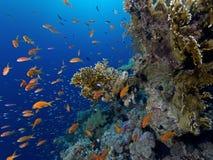 Тропическая сцена рифа с красными рыбами Стоковое Фото