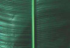 Тропическая текстура лист банана стоковые фотографии rf
