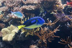 Тропическая тянь сини рыб Стоковые Фото