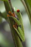 Лягушка дерева Rican Косты Стоковое Изображение RF