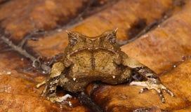 Тропическая лягушка comoflaque Стоковое Изображение RF