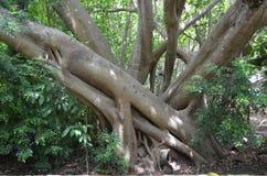 Тропические деревья растут в несуразных положениях, почти если обнимающ один другого Стоковые Изображения