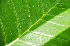 Тропические зеленые лист с капельками воды Стоковое Изображение RF