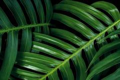 Тропические зеленые текстуры лист на черной предпосылке, philo Monstera Стоковая Фотография RF
