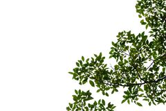 Тропические листья дерева с ветвями на белой изолированной предпосылке стоковые фото