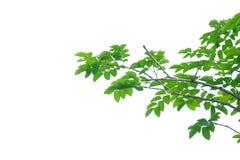 Тропические листья дерева с хворостинами на белой изолированной предпосылке стоковые фото
