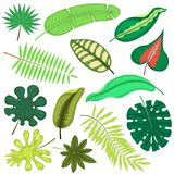 Тропические листья засаживают банановое дерево ладони или листвы лист вектора троповое в monstera джунглей экзотическом и папорот Стоковые Изображения