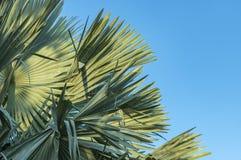 Тропические лист ладони, абстрактная нашивка предпосылки природы, естественной картины стоковое фото rf