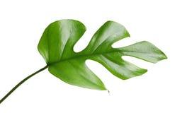 Тропические лист monstera Стоковые Фото