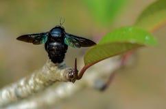 Тропические пчелы плотника сидя на лист Стоковое Изображение