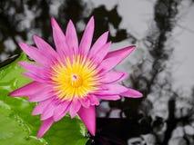 Тропические розовые лилия воды и вода струятся в пруде Стоковое Изображение