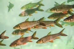 Тропические рыбы в гигантском аквариуме стоковая фотография rf