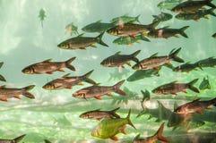 Тропические рыбы в гигантском аквариуме Стоковые Изображения