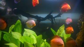 Тропические рыбы и кораллы в undervater аквариума сток-видео