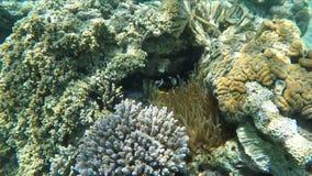 Тропические рыбы клоуна плавают вокруг ветреницы на коралловом рифе акции видеоматериалы
