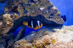 Тропические рыбы плавают около кораллового рифа жизнь подводная стоковые изображения