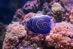 Тропические рыбы плавают около кораллового рифа жизнь подводная стоковые фото
