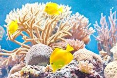 Тропические рыбы Стоковое Изображение RF