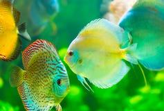 Тропические рыбы Стоковая Фотография