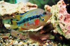 Тропические рыбы Стоковые Фотографии RF