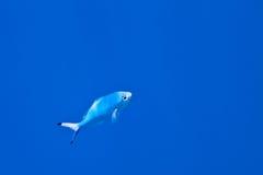 Тропические рыбы Стоковые Изображения