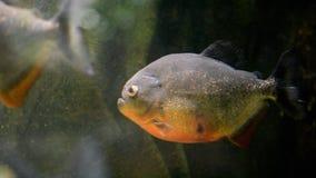 Тропические рыбы piranha сток-видео