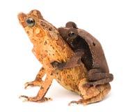 Тропические сопрягая жабы Стоковые Фото