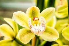 Тропические цветения цветка орхидеи Стоковые Изображения