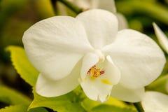 Тропические цветения цветка орхидеи Стоковое Фото