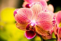 Тропические цветения цветка орхидеи Стоковое фото RF