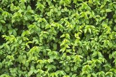 Тропические цветки зацветая Wrightia Religiosa Benth & x28; MOK& x29; Стоковое Изображение