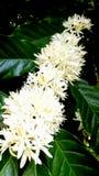 Тропические цветки кофе Стоковые Изображения RF