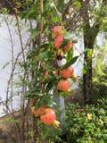 Тропические цветки цветя гранатовое дерево Стоковое Изображение