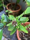 Тропические цветки цветя гранатовое дерево Стоковые Изображения