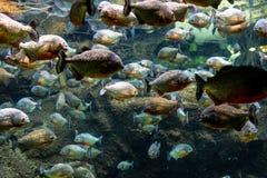 Тропический аквариум с мозаикой много видов красочных рыб f Стоковое Изображение