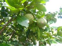 тропический горький апельсин 1 Стоковое Изображение